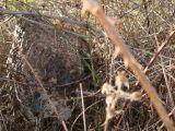 Frelons asiatique